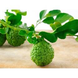 Kaffir Lime - seeds