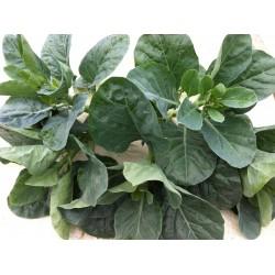 Čínská brokolice (Chinese...