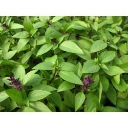 Sweet Thai Basil - seeds