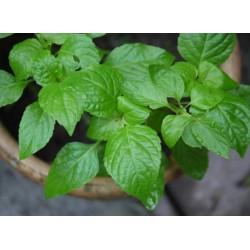 Tree Basil - seeds
