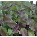 Tree basil seeds (70pcs)