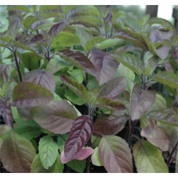 Holy Basil Red - seeds